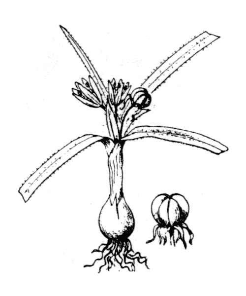Allium chamaemoly L. - illustration de coste