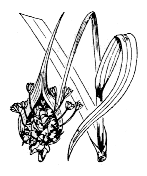 Allium sativum L. [1753] - illustration de coste
