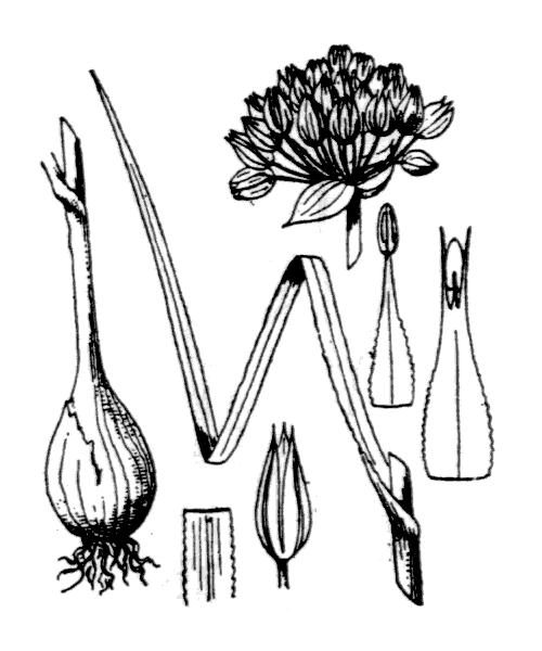 Allium acutiflorum Loisel. - illustration de coste