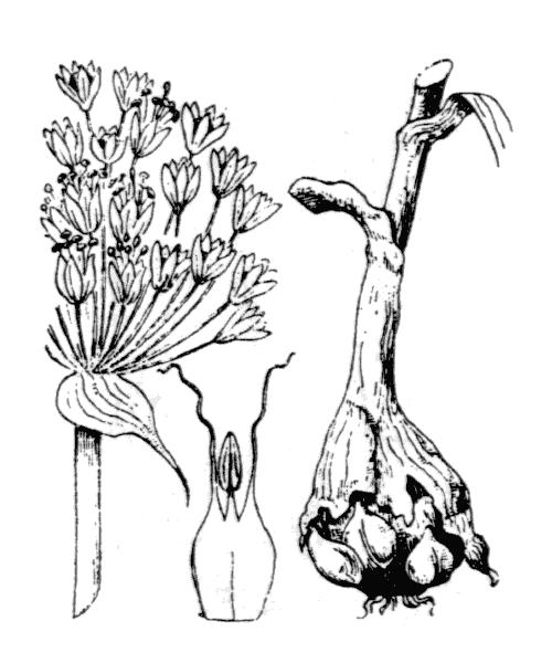 Allium polyanthum Schult. & Schult.f. - illustration de coste