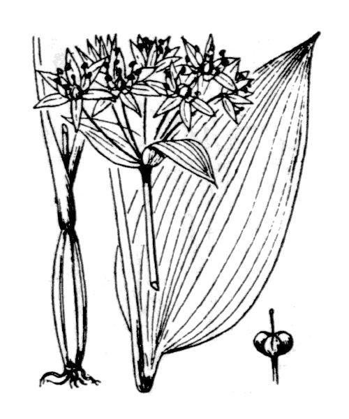 Allium ursinum L. - illustration de coste