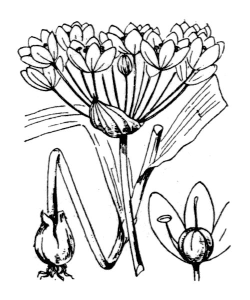 Allium neapolitanum Cirillo - illustration de coste