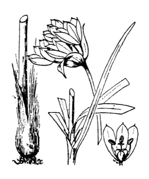 Allium narcissiflorum Vill. - illustration de coste