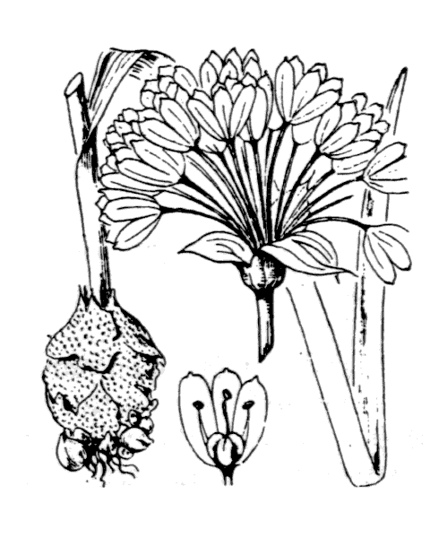 Allium roseum L. - illustration de coste
