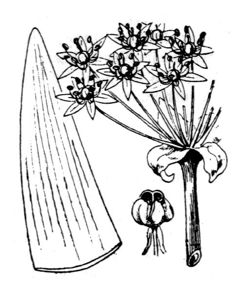 Allium nigrum L. - illustration de coste