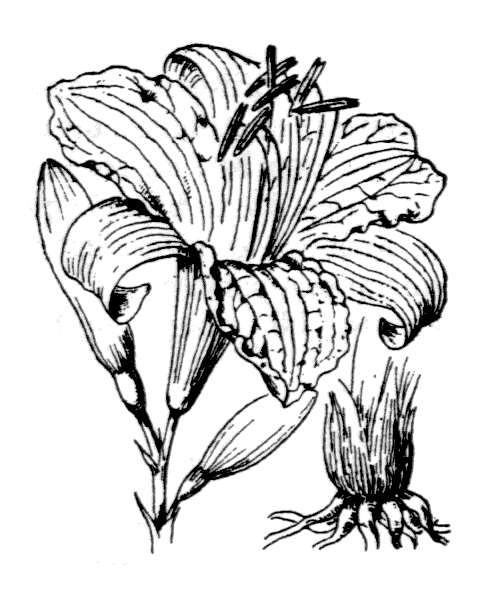 Hemerocallis fulva (L.) L. - illustration de coste