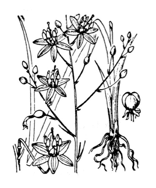 Anthericum ramosum L. - illustration de coste