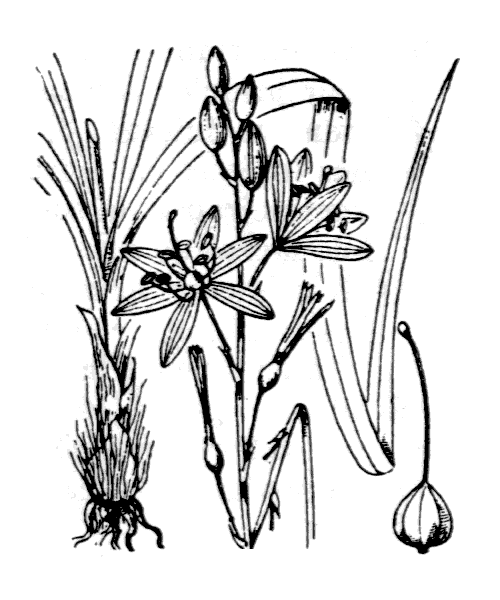 Anthericum liliago L. [1753] - illustration de coste
