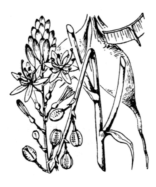 Asphodelus ramosus L. subsp. ramosus - illustration de coste