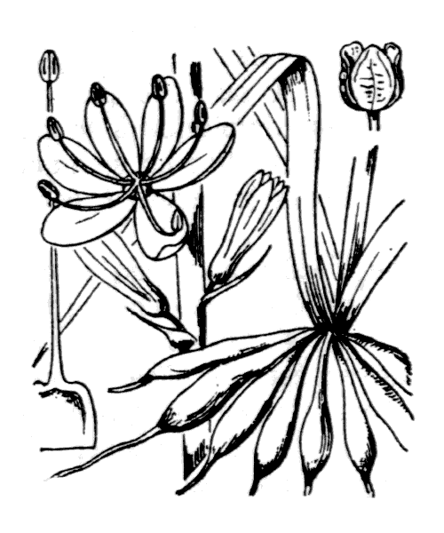 Asphodelus cerasifer J.Gay - illustration de coste