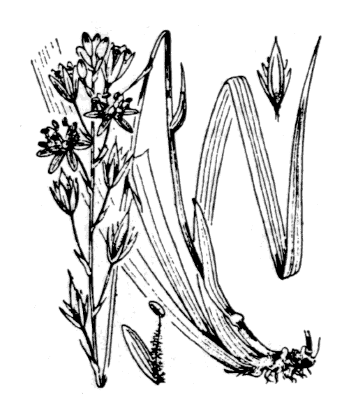 Narthecium ossifragum (L.) Huds. - illustration de coste