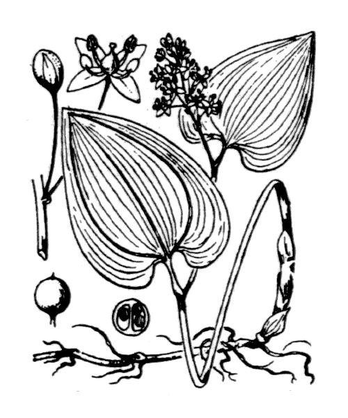 Maianthemum bifolium (L.) F.W.Schmidt [1794] - illustration de coste