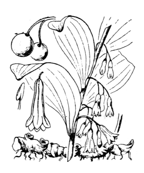 Polygonatum multiflorum (L.) All. - illustration de coste