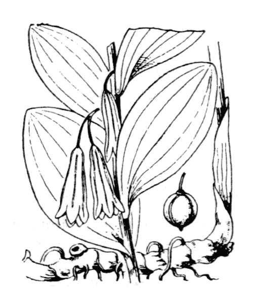 Polygonatum odoratum (Mill.) Druce [1906] - illustration de coste