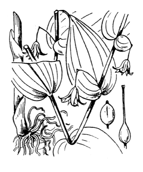 Streptopus amplexifolius (L.) DC. [1805, in Lam. & DC. ; Fl. Franç., éd. 3, 3 : 174] (illustration de Coste)