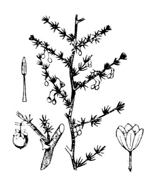 Asparagus acutifolius L. - illustration de coste