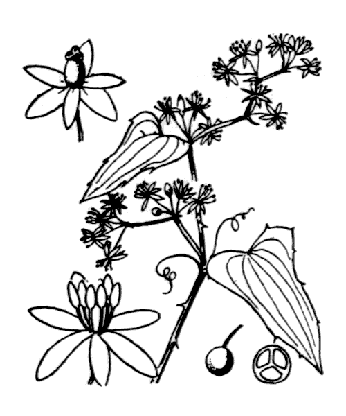 Smilax aspera L. - illustration de coste