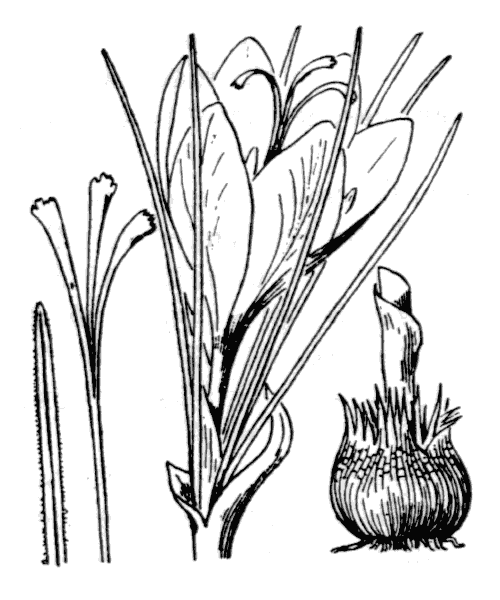 Crocus sativus L. - illustration de coste