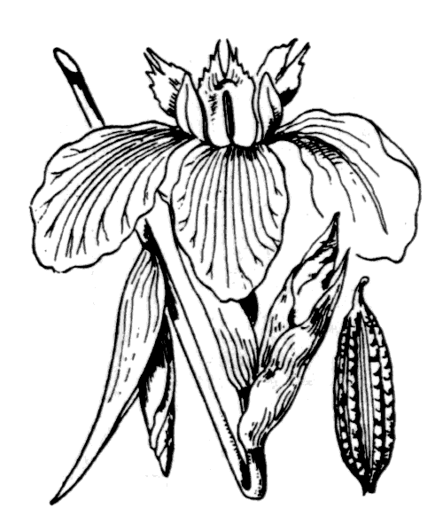 Iris pseudacorus L. - illustration de coste