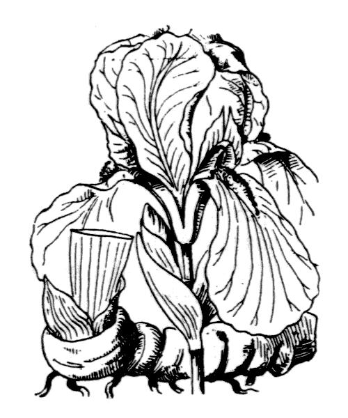 Iris germanica cv. Florentina - illustration de coste