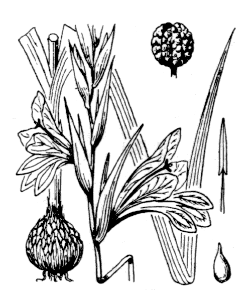 Gladiolus italicus Mill. - illustration de coste