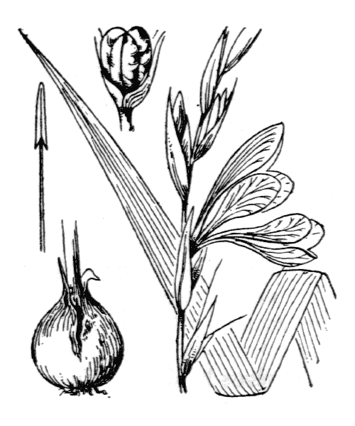 Gladiolus dubius Guss. - illustration de coste