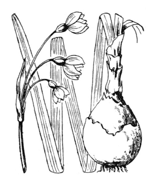 Leucojum pulchellum Salisb. [1807] - illustration de coste