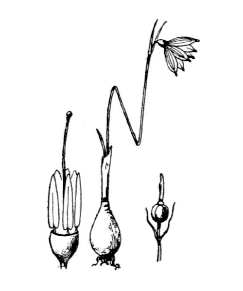 Acis rosea (F.Martin) Sweet - illustration de coste