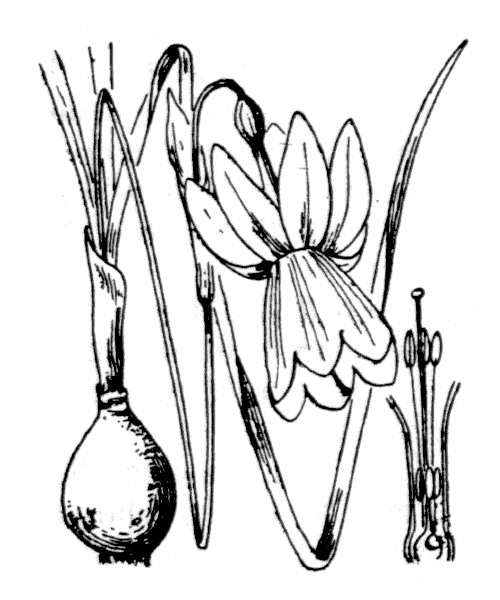 Narcissus triandrus subsp. triandrus var. loiseleurii (Rouy) A.Fern. [1995] - illustration de coste