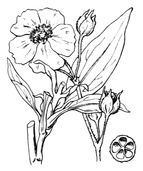 Cistus laurifolius L. - illustration de coste