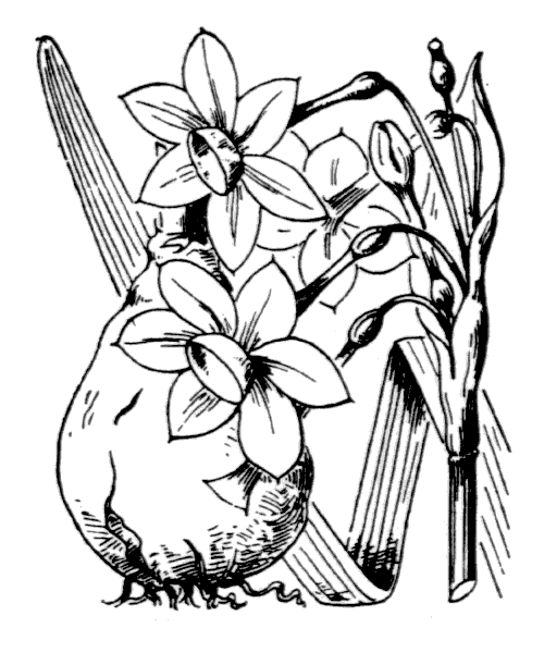 Narcissus tazetta L. - illustration de coste