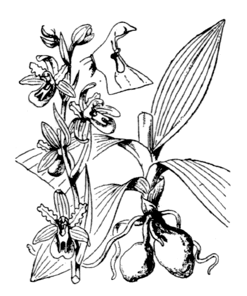 Ophrys aranifera Huds. - illustration de coste