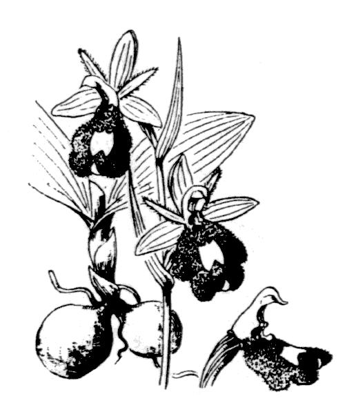 Ophrys bertolonii Moretti [1823, Pl. Ital. Dec., 6, 2, 6 : 145] (illustration de Coste)