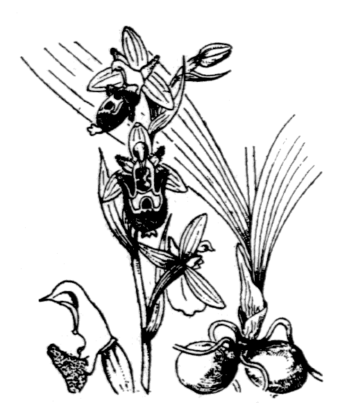 Ophrys scolopax Cav. - illustration de coste
