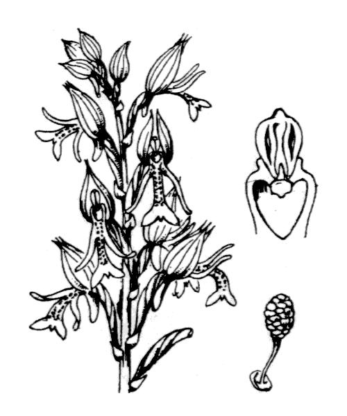 Orchis militaris L. - illustration de coste
