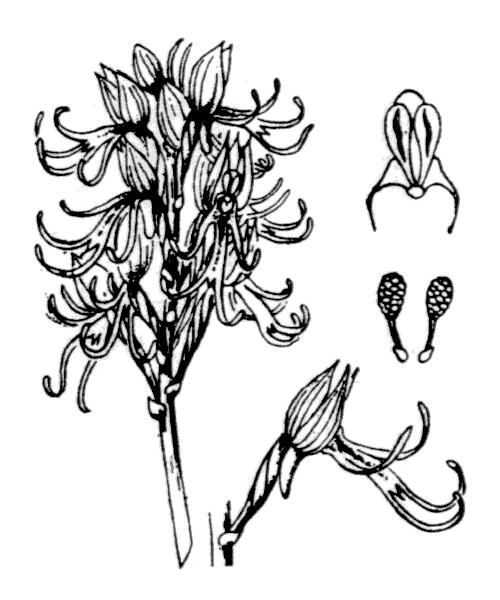 Orchis simia Lam. - illustration de coste