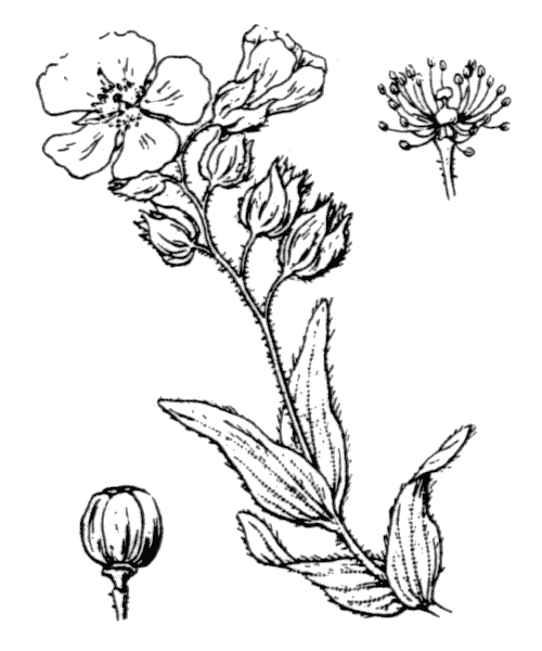 Cistus monspeliensis L. - illustration de coste