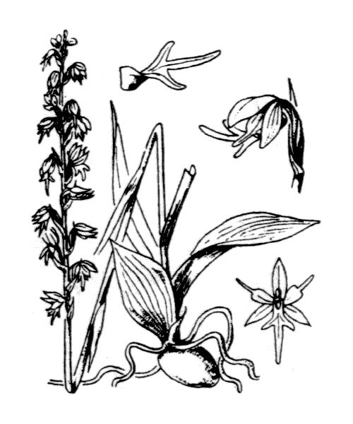 Herminium monorchis (L.) R.Br. - illustration de coste