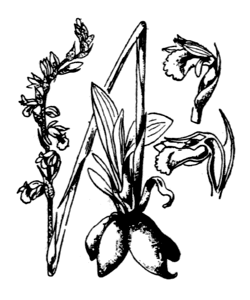 Spiranthes spiralis (L.) Chevall. - illustration de coste