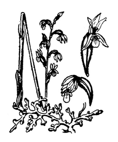 Corallorhiza trifida Châtel. [1760] - illustration de coste