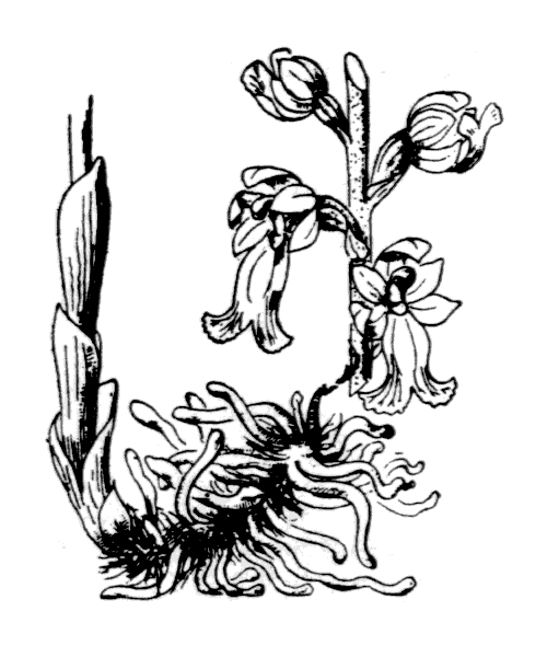 Neottia nidus-avis (L.) Rich. - illustration de coste