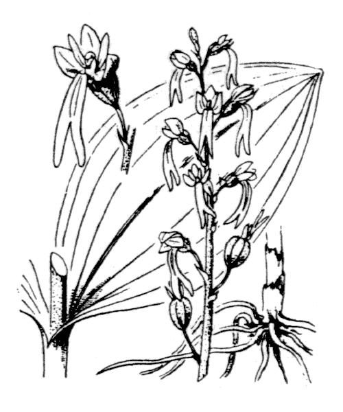 Neottia ovata (L.) Bluff & Fingerh. [1837] - illustration de coste