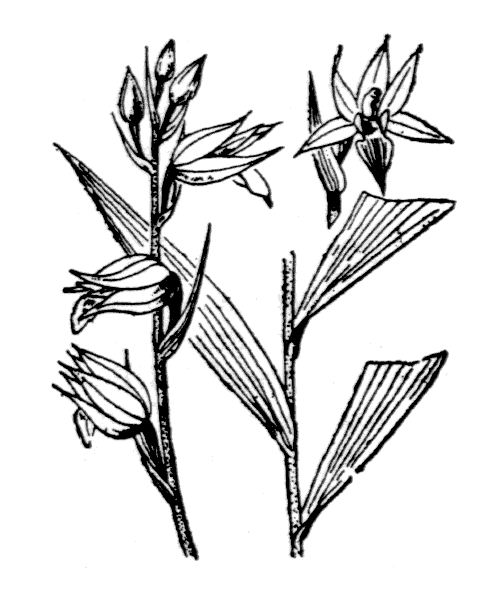 Cephalanthera rubra (L.) Rich. [1817] - illustration de coste