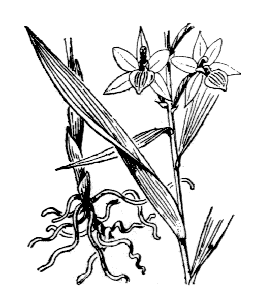 Cephalanthera longifolia (L.) Fritsch - illustration de coste