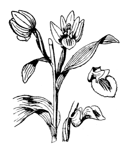 Cephalanthera damasonium (Mill.) Druce - illustration de coste