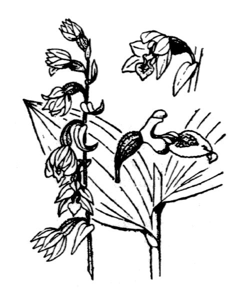 Epipactis atrorubens (Hoffm.) Besser - illustration de coste