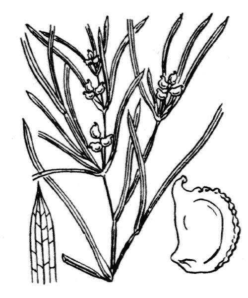 Potamogeton acutifolius Link - illustration de coste