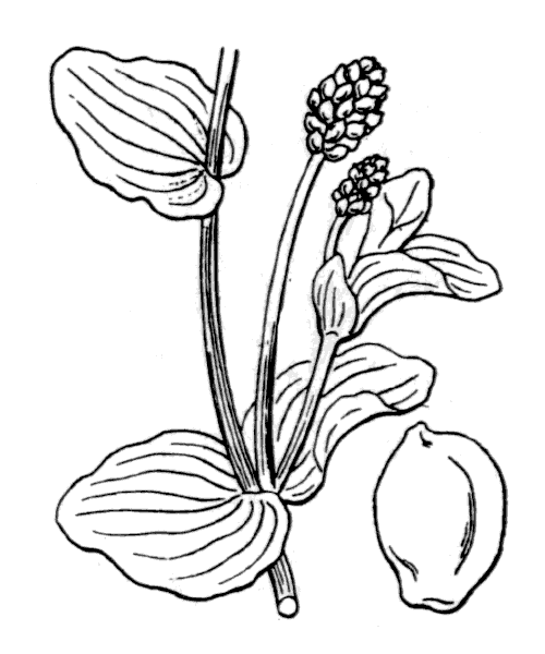 Potamogeton perfoliatus L. - illustration de coste