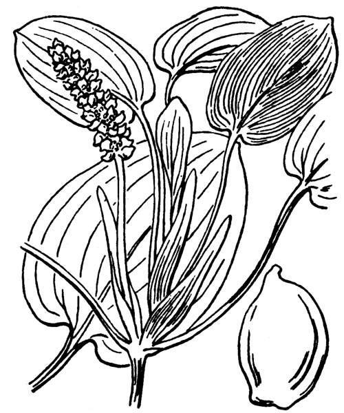 Potamogeton natans L. - illustration de coste