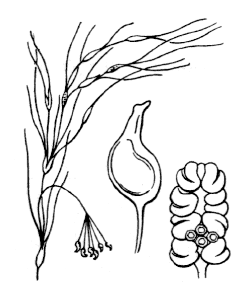 Ruppia maritima L. - illustration de coste